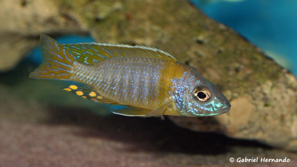 Aulonocara korneliae (Aqua Treff, février 2012)