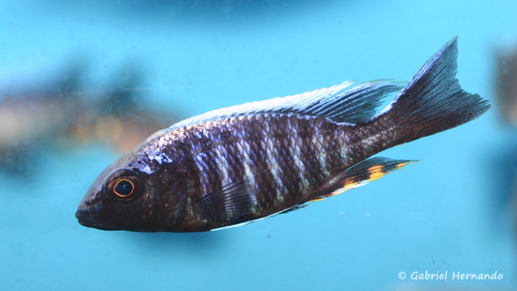 Aulonocara maylandi kandeensis (Aqua Treff, février 2012)