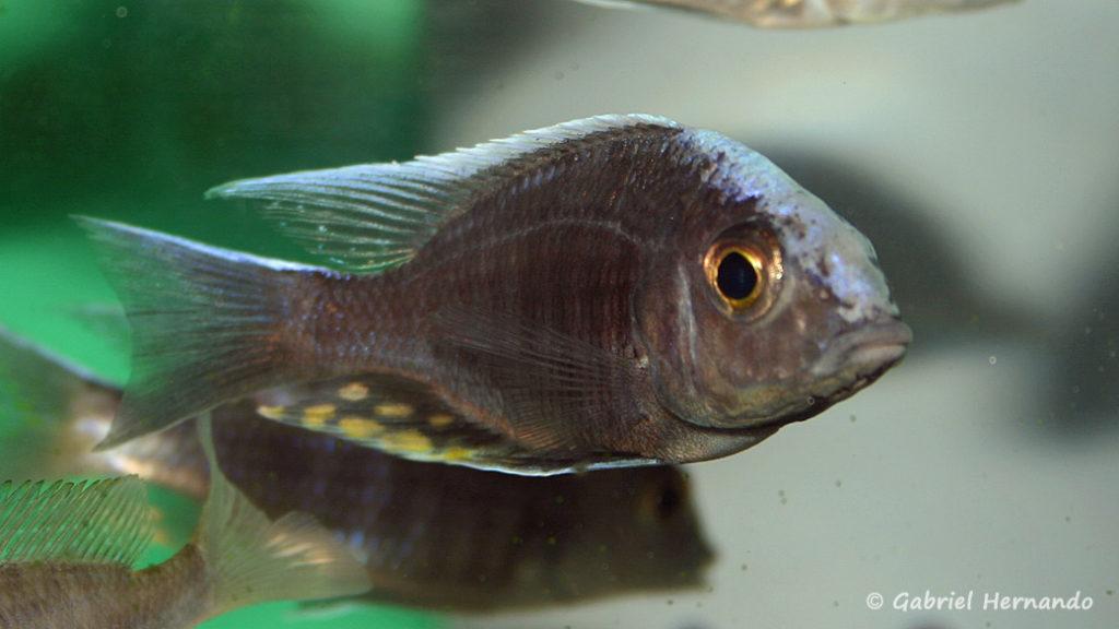 Aulonocara maylandi kandeensis (Abysse, septembre 2006)