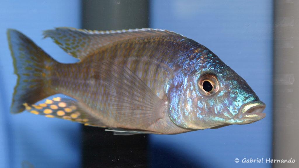 Aulonocara rostratum (Abysse, mars 2008)