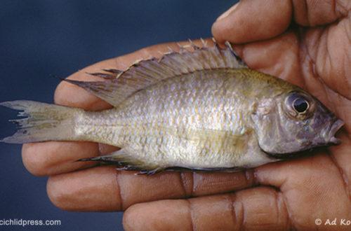 "Aulonocara sp ""nyassae mumbo"", mâle fraichement capturé à Mumbo Island (Ad Konings)"