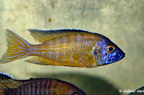 Aulonocara steveni, variété de Mamba (Verduijn Cichlid, mars 2006)