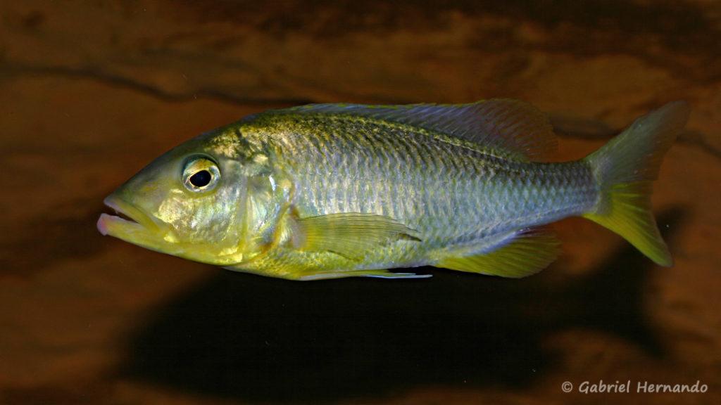 Buccochromis rhoadesii, femelle