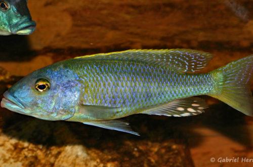 Buccochromis rhoadesii, mâle