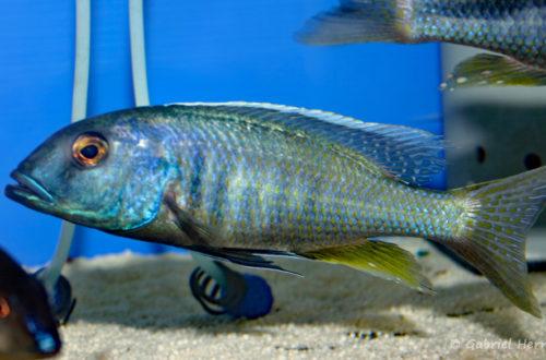 Buccochromis spectabilis, mâle (Abysse, septembre 2006)