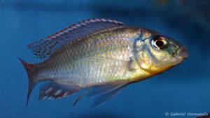 Cheilochromis euchilus (Aqua Treff, Duisbourg, Allemagne, mars 2009)