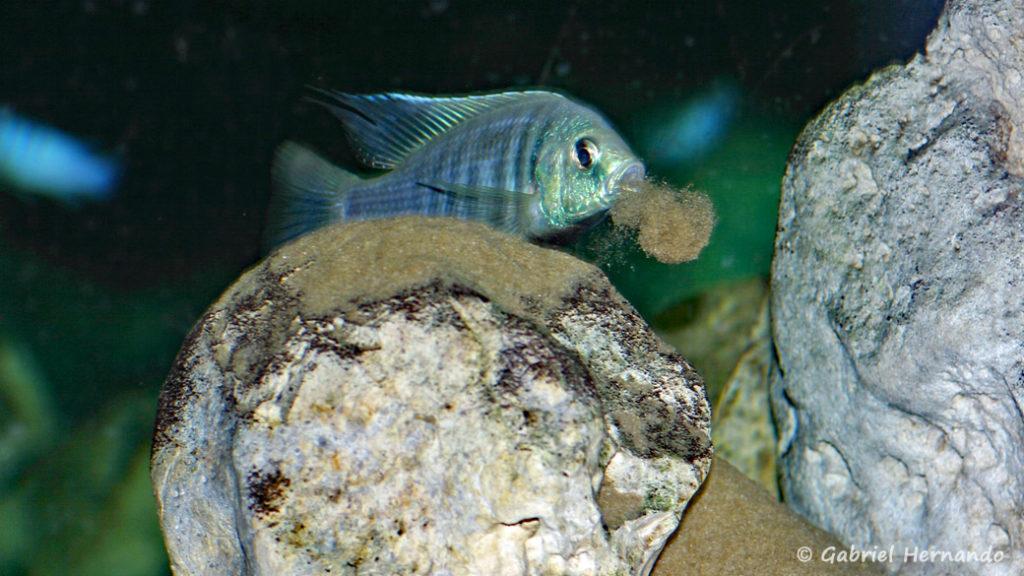 Copadichromis pleurostigma, mâle formant un monticule de sable sur un rocher pour attirer la femelle