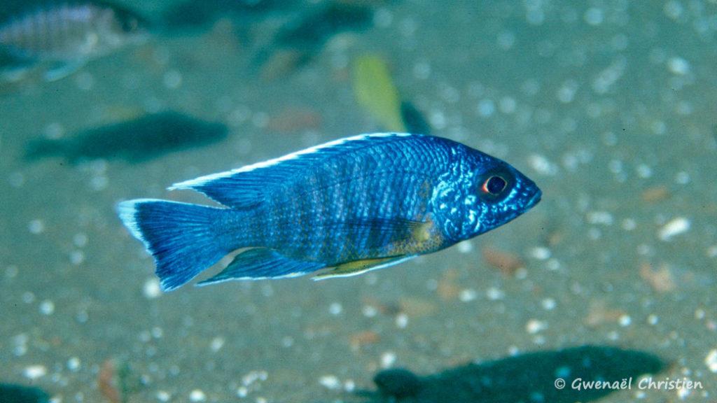 Aulonocara stuartgranti, in situ à Chitimba, à une profondeur de 22 m
