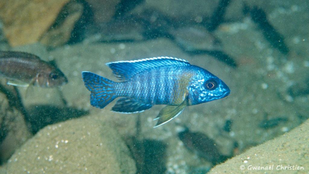 Aulonocara stuartgranti, in situ à Chitimba, à une profondeur de 8 m