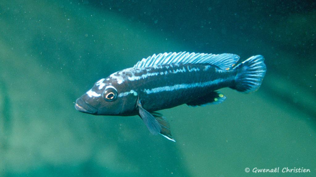 Melanochromis vermivorus, in situ à Thumbi West (Sud-ouest)
