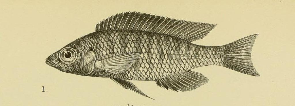 Haplochromis eucinostomus, gravure tirée de Regan, C.T. 1922a, planche IV