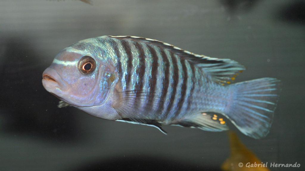Maylandia phaeos (Abysse, mars 2010)