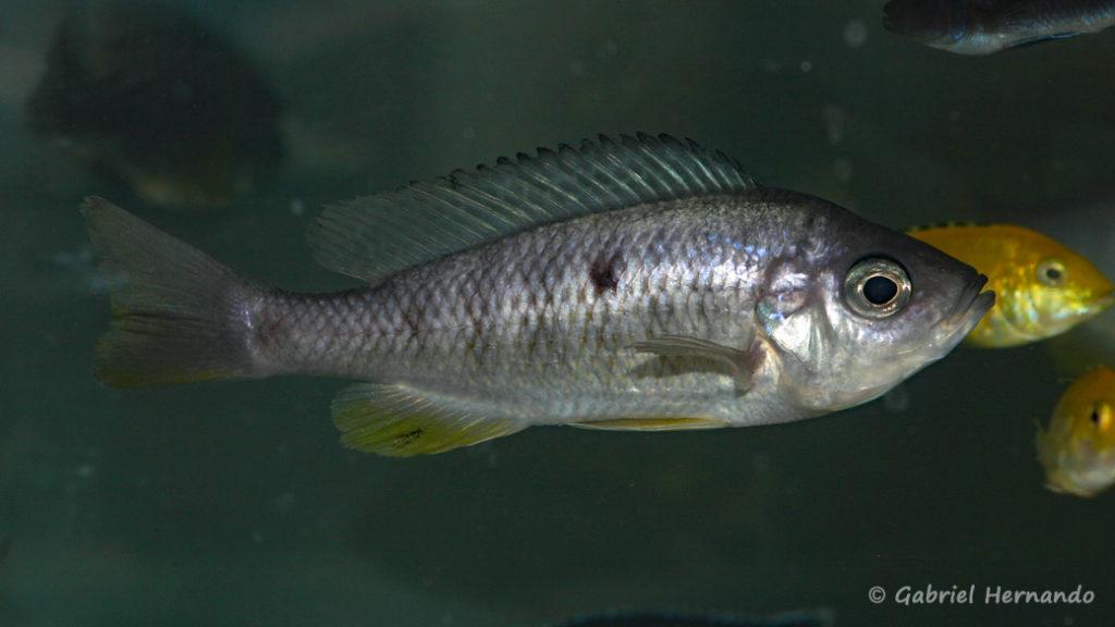 Mchenga flavimanus, l'une des femelles, dans le bac de bourse de Philippe Hotton (Arlon, mai 2008)