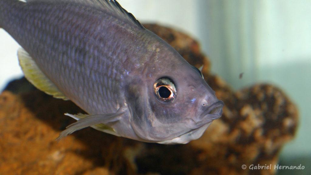 Mchenga flavimanus, femelle en incubation