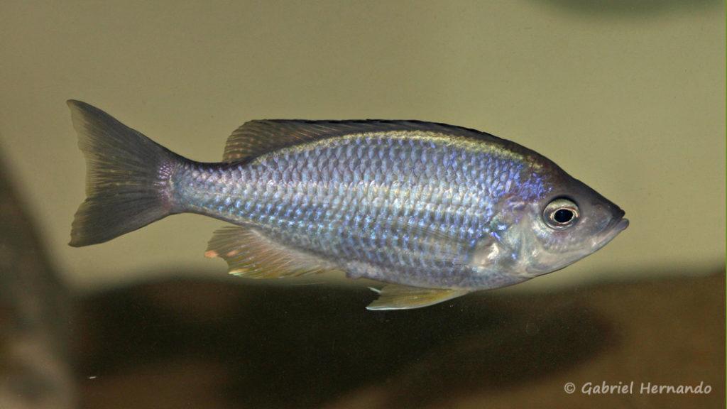 Mchenga flavimanus, femelle
