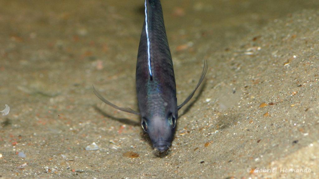 Mchenga flavimanus, mâle entretenant son site de ponte