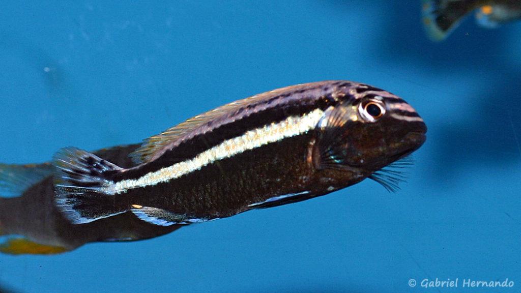 Melanochromis auratus (Aqua'Treff, mars 2011)