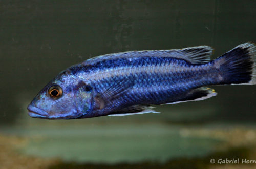 Melanochromios kaskasini (Abysse, mars 2010)