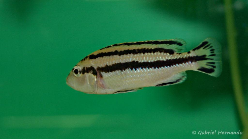 Melanochromis loriae, femelle (Abysse, février 2005)