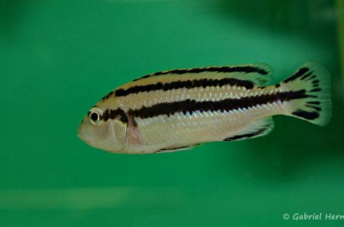 Melanochromis parallelus (Abysse, février 2005)