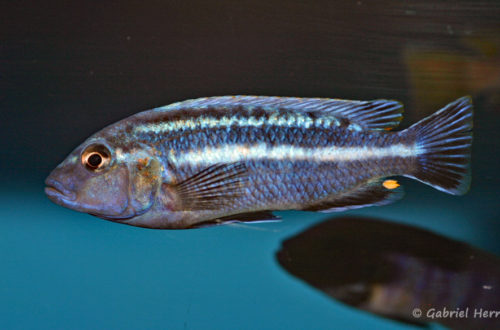 Melanochromis vermivorus (Aqua'Treff, mars 2009)