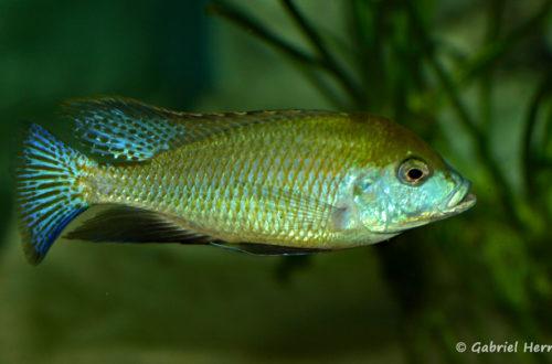 Mylochromis plagiotaenia (Club aquariophile de Vernon, mai 2010)
