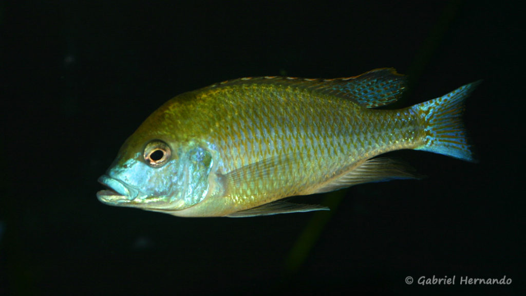 Mylochromis plagiotaenia (Club aquariophile de Vernon, septembre 2009)