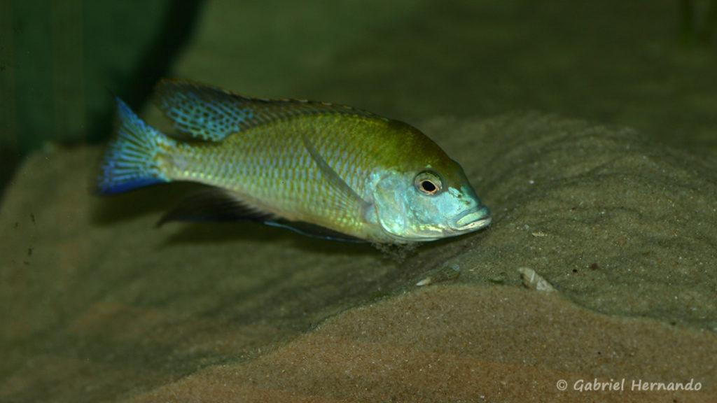 Mylochromis plagiotaenia, mâle entretenant son site de ponte (Club aquariophile de Vernon, mai 2010)