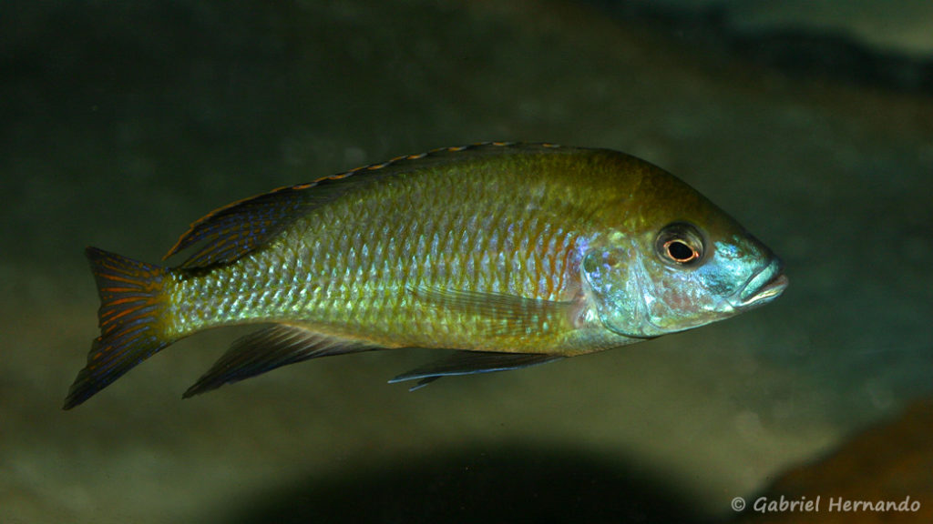 Mylochromis plagiotaenia (Chez moi, septembre 2010)
