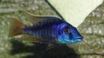 "Mylochromis sp. ""lateristriga Makenjila"" mâle (Chez Gilles Garrier, janvier 2008)"
