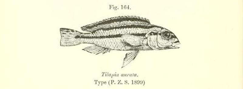 Melanochromis auratus, gravure extraite de Boulenger, 1915, page 246