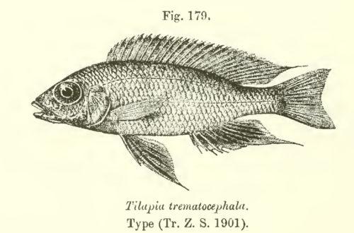 Aulonocara trematocephalum, tiré de Boulenger 1915