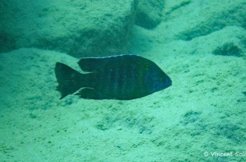 Aulonocara saulosi, in situ à Likoma