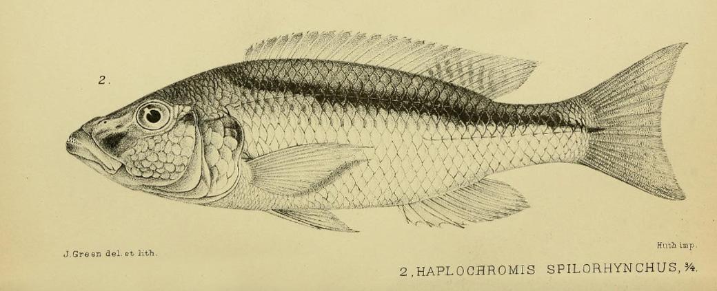 Champsochromis spilorhynchus, gravure tirée de Regan, C.T. 1922, planche VI