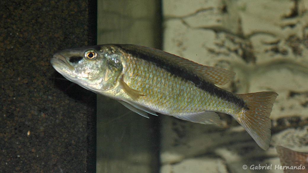 Champsochromis spilorhynchus (Aqua Treff, Duisbourg, mars 2004)