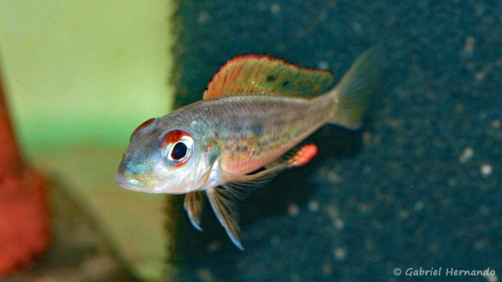 Callochromis melanostigma (Aquabeek, mars 2011)