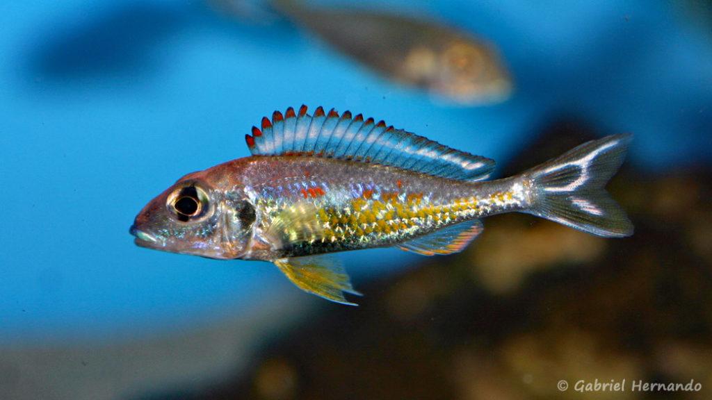 Callochromis pleurospilus, variété de Kigoma (Aqua Treff, Duisbourg, mars 2011)
