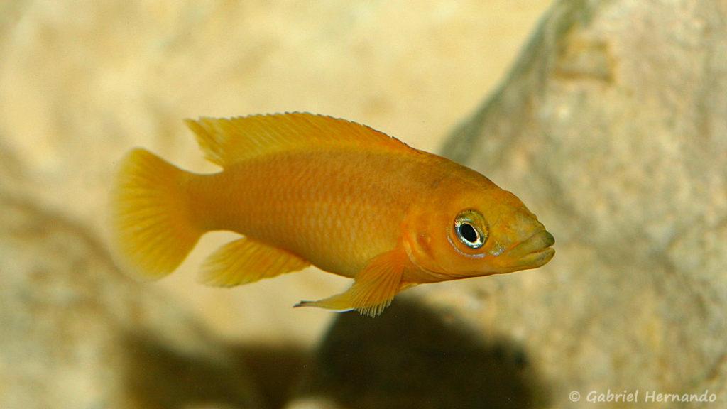 Neolamprologus leleupi, variété de Karilani (chez Vincent Chamayou, septempbre 2009)
