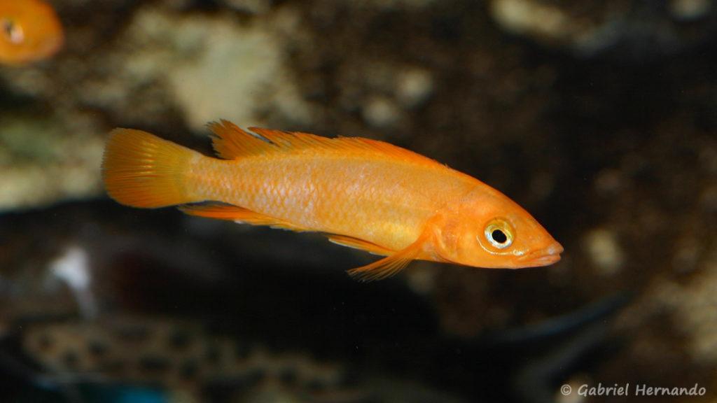 Neolamprologus leleupi (Aqua'Treff, Duisbourg, Allemagne, mars 2011)