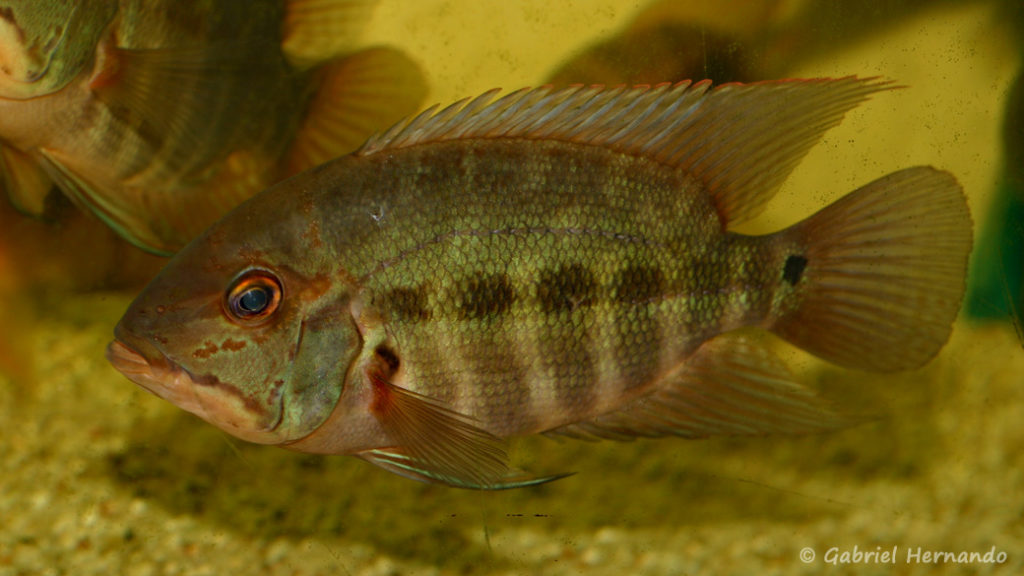 Hoplarchus psittacus (Hobby Zoo Tilmann, Duisbourg, mars 2009)