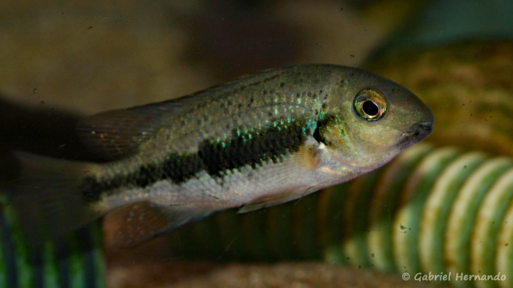 Paraneetroplus gibbiceps (Zoo Jazac, Duisbourg, mars 2011)