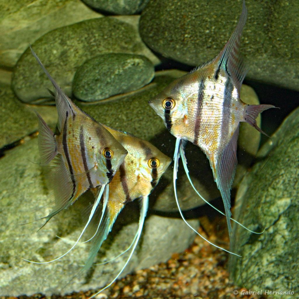 Pterophyllum scalare, variété du Pérou (Club aquariophile de Vernon, janvier 2005)
