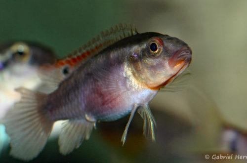 Congochromis dimidiatus (Aquarium de Marbais, Belgique, février 2012)