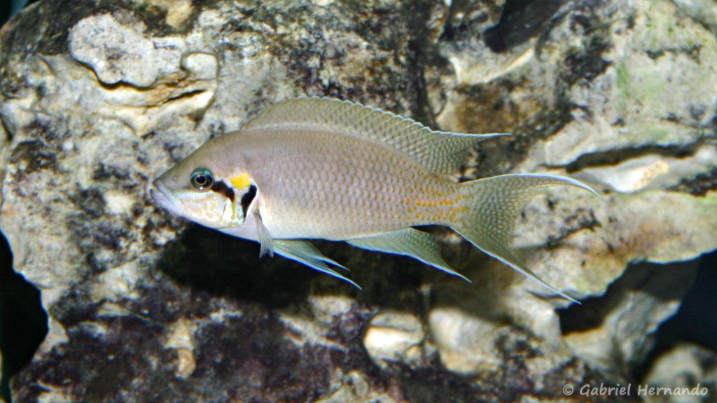 Neolamprologus brichardi (Club aquariophile de Vernon, juin 2004)