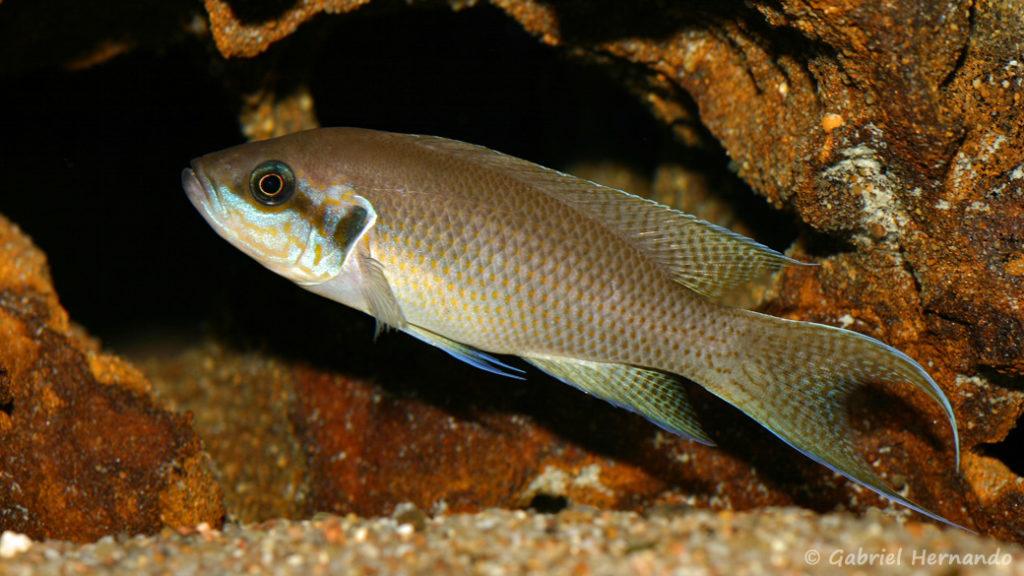 Neolamprologus brichardi, variété de Fulwe (Association Aquariophile de Rouen, mars 2008)