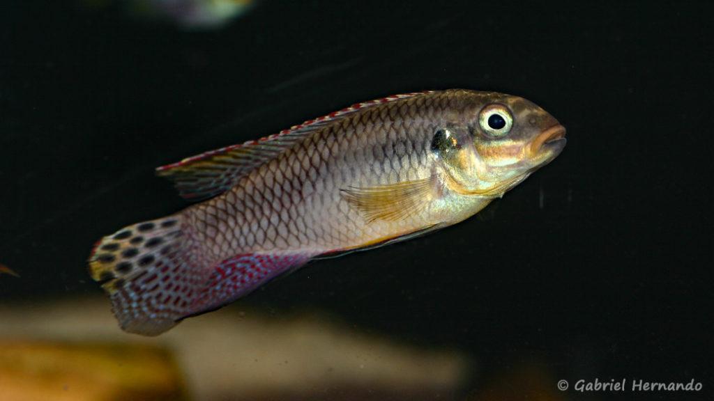 Pelvicachromis taeniatus, mâle de la variété de Lokoundje (Zoo Jazac, Duisbourg, mars 2011)