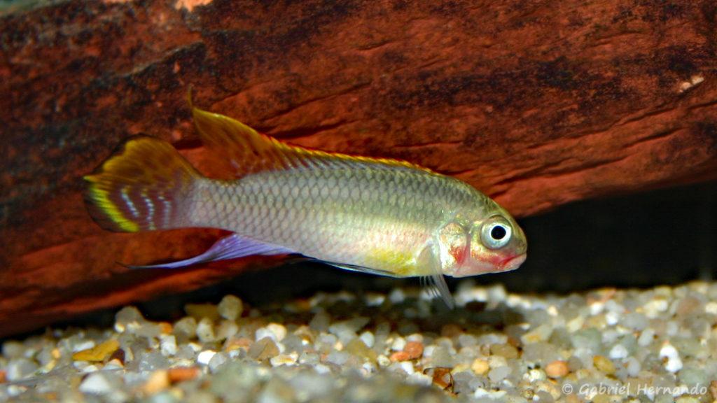 Pelvicachromis taeniatus, mâle de la variété Red Nigeria (Club aquariophile de Vernon, janvier 2004)