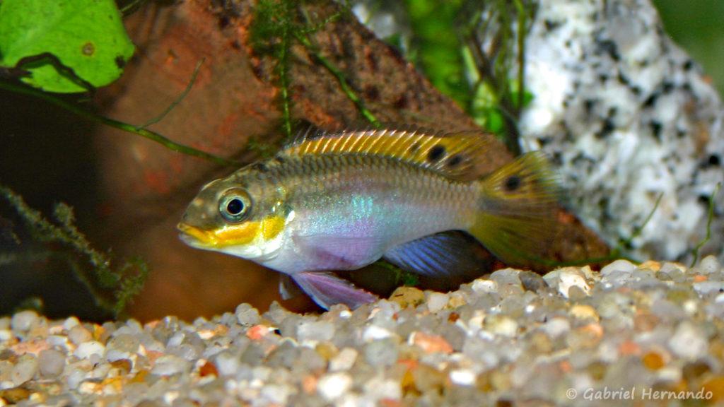 Pelvicachromis taeniatus, femelle de la variété Red Nigeria (Club aquariophile de Vernon, janvier 2004)