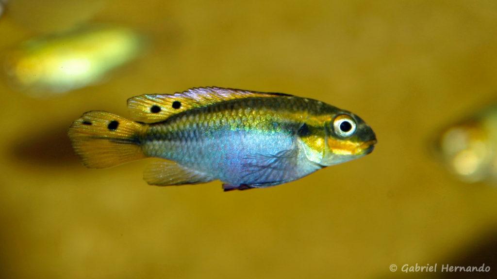 Pelvicachromis taeniatus, femelle de la variété de Moliwe (Association aquariophile de Rouen, avril 2006)