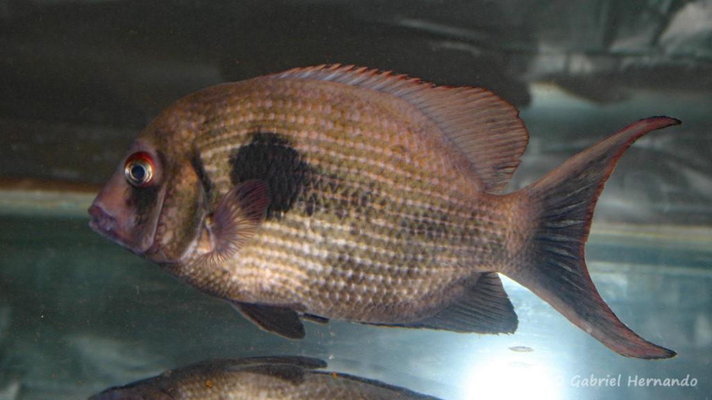 Paretroplus maculatus (Vichy, congrès AFC 2007)